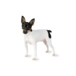 Petland Rome Toy Fox Terrier