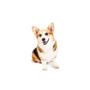 Cardigan Welsh Corgi Puppies Visit Petland Rome In Floyd County Ga