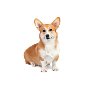 Pembroke Welsh Corgi Puppies Visit Petland Rome In Floyd County Ga
