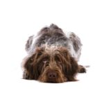 Petland Rome German Wirehaired Pointer