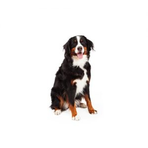 Bernese Mountain Dog Puppies Petland Rome