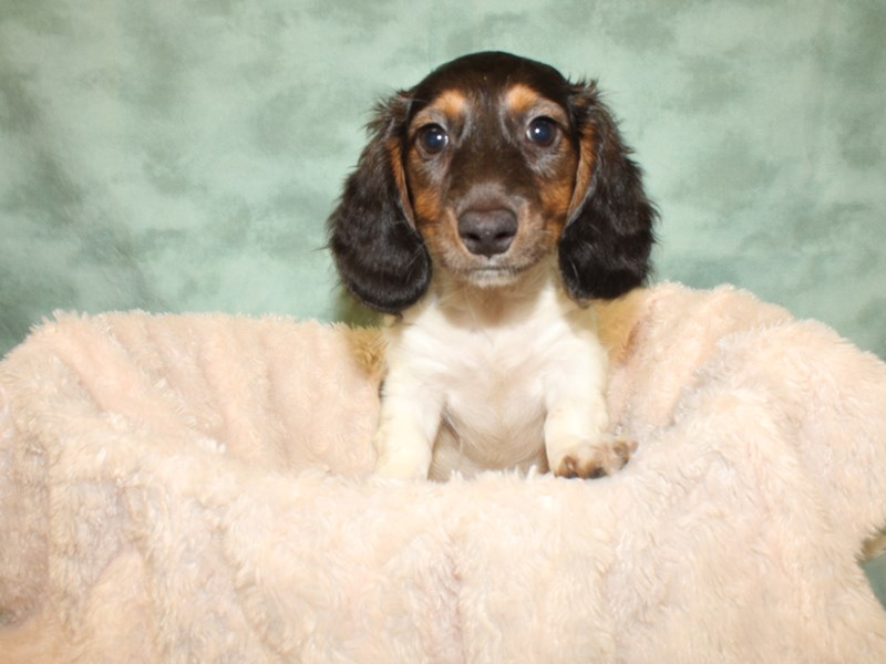 Dachshund-Male-Black and Tan-2818155-Petland Rome